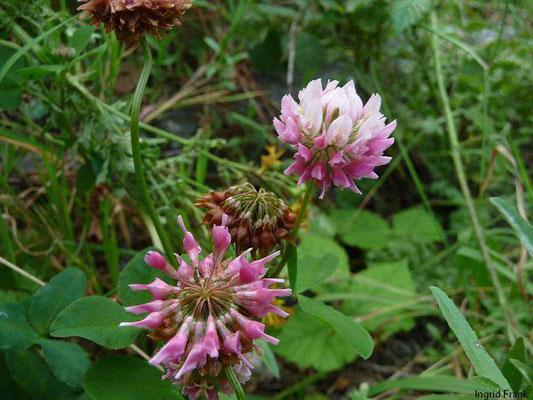 Trifolium hybridum - Hybrid-Klee, Schweden-Klee