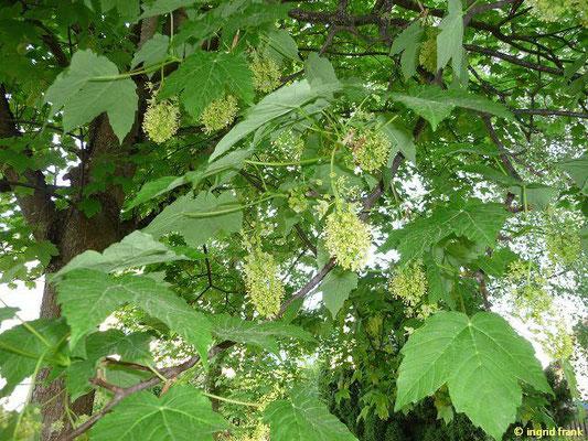 Acer pseudoplatanus - Berg-Ahorn  (V)