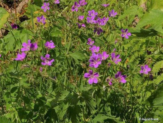 Geranium sylvaticum / Wald-Storchschnabel