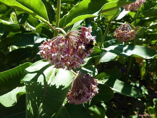 Asclepias syriaca / Echte Seidenpflanze (Syringa Kräutergarten in Hilzingen)