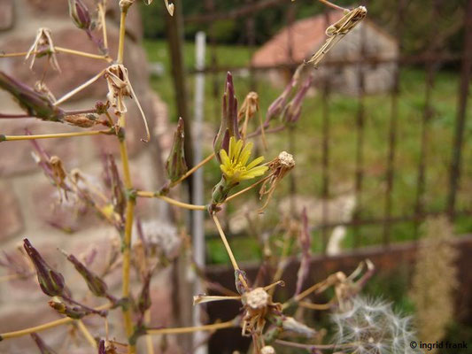Lactuca serriola - Kompass-Lattich