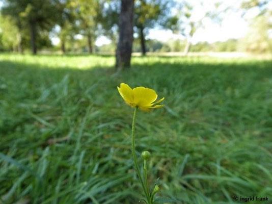 Ranunculus acris ssp. friesianus - Fries' Scharfer Hahnenfuss