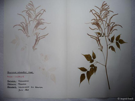 (18) Aruncus silvester - Wald-Geißbart