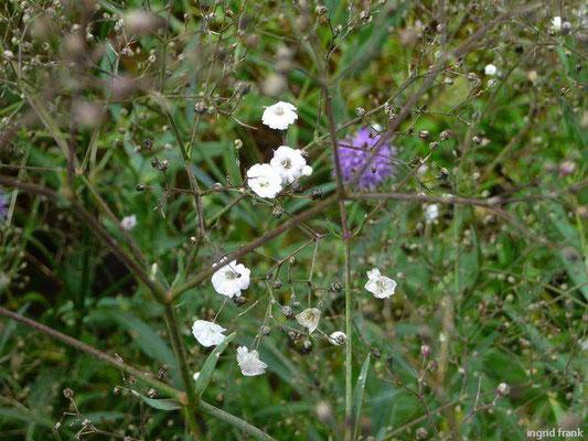 Gypsophila paniculata - Rispiges Gipskraut, Schleierkraut    VI-IX