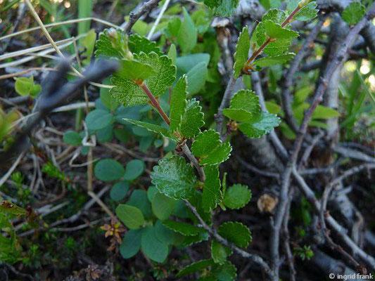 Betula nana / Zwerg-Birke