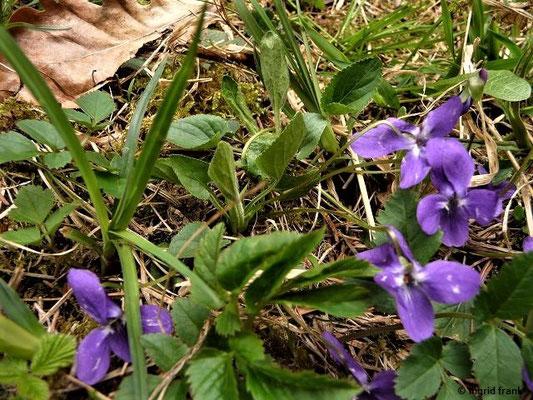 Viola hirta / Behaartes Veilchen