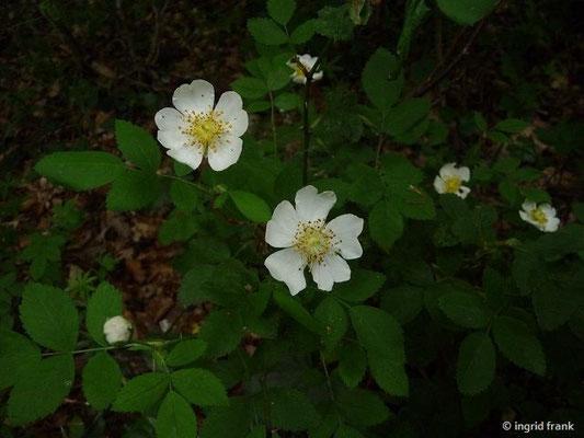 Rosa corymbifera / Busch-Rose, Hecken-Rose