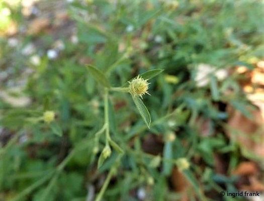 Centaurea stoebe - Gefleckte Flockenblume