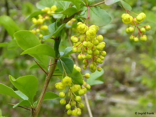 Berberis vulgaris / Gewöhnliche Berberitze