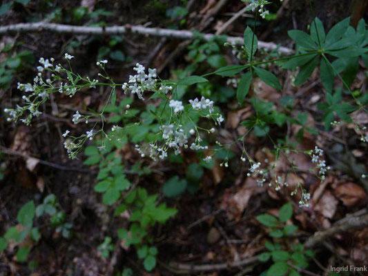 Galium sylvaticum - Wald-Labkraut    VII-VIII