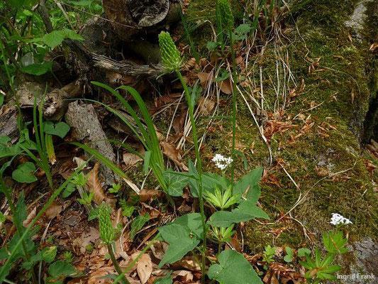29.04.2011-Phyteuma spicatum - Ährige Teufelskralle