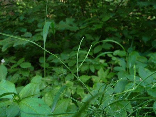 12.07.2011-Equisetum sylvaticum - Wald-Schachtelhalm (Wald bei Brochenzell)