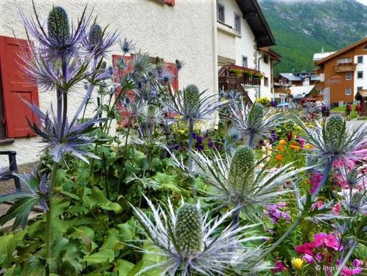Eryngium alpinum - Alpen-Mannstreu (Vorgarten in Saas Fee, Wallis)