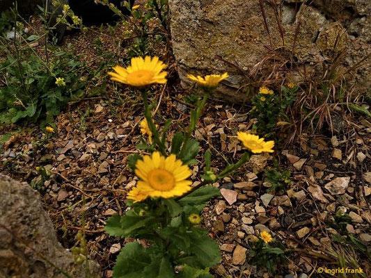 Coleostephus myconis - Gelbe Margerite