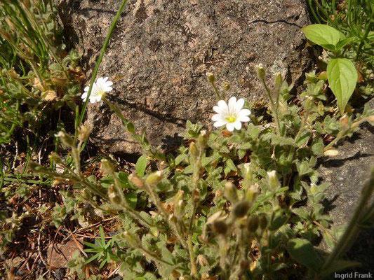 Cerastium alpinum - Alpen-Hornkraut  (VII-VIII)