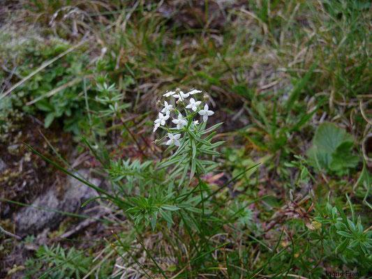 Galium anisophyllum - Ungleichblättriges Labkraut, Alpen-Labkraut    VII-IX