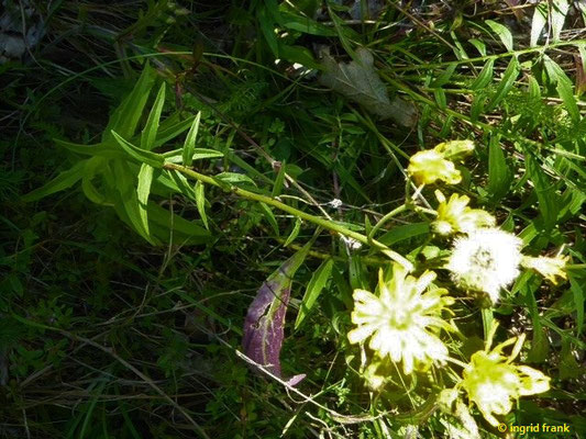Hieracium umbellatum - Dolden-Habichtskraut