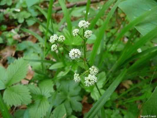 Sanicula europaea / Wald-Sanikel