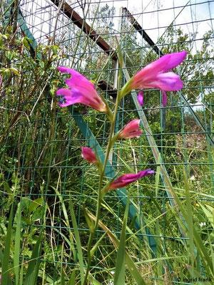 Gladiolus italicus - Italienische Gladiole