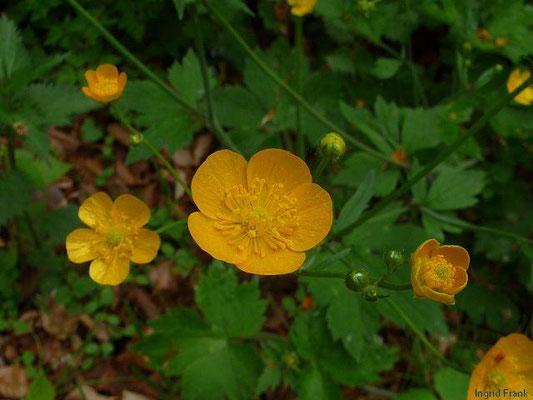 Ranunculus lanuginosus / Wolliger Hahnenfuss