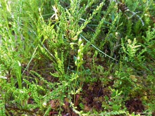 Drosera rotundifolia - Rundblättriger Sonnentau