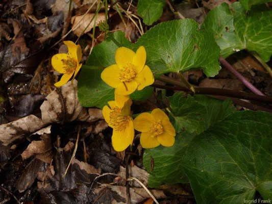 Caltha palustris - Sumpf-Dotterblume