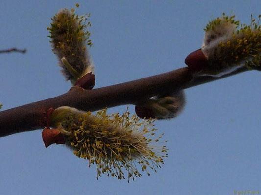 23.03.2012-Salix caprea - Sal-Weide