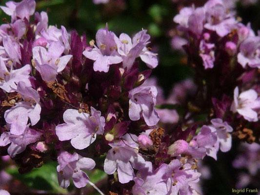 Origanum vulgare / Gewöhnlicher Dost , Oregano