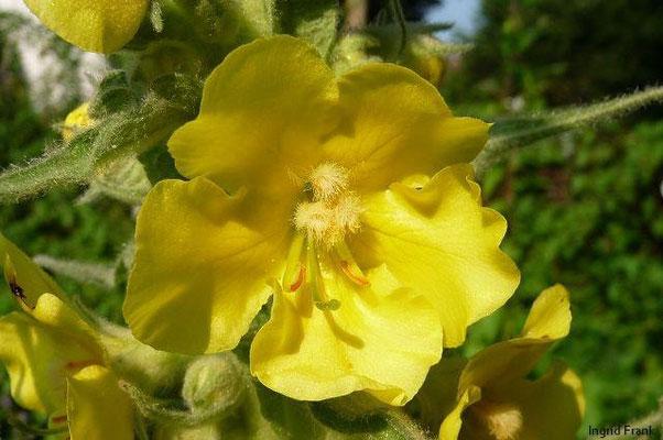 Verbascum densiflorum - Großblütige Königskerze