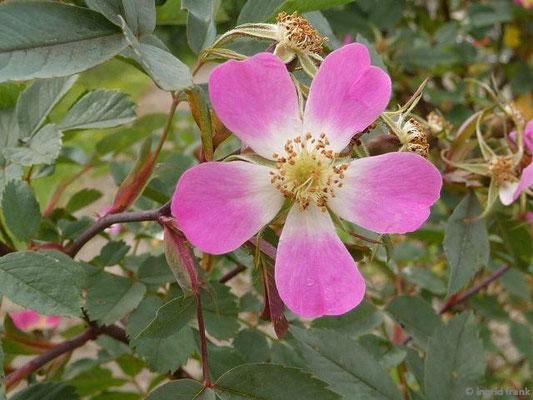 Rosa glauca - Rotblättrige Rose