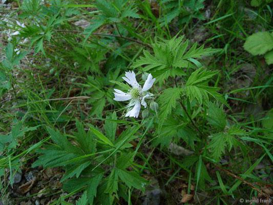 Rubus spec. / Rubus-Arten