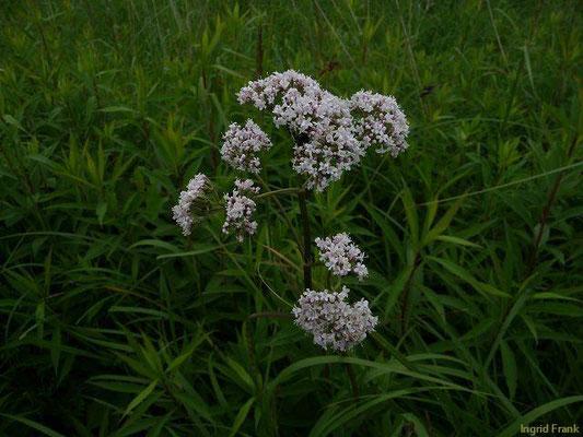 Valeriana officinalis / Arznei-Baldrian    VII-VIII