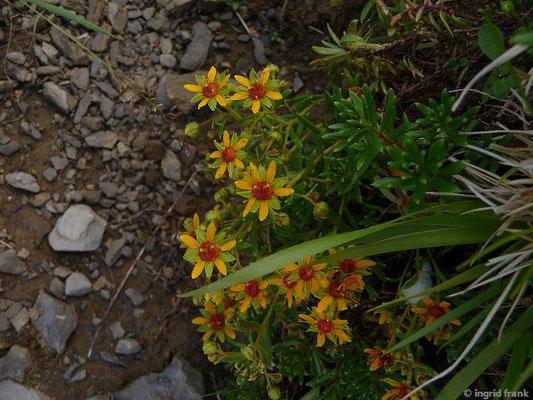 Saxifraga aizoides / Fetthennen-Steinbrech