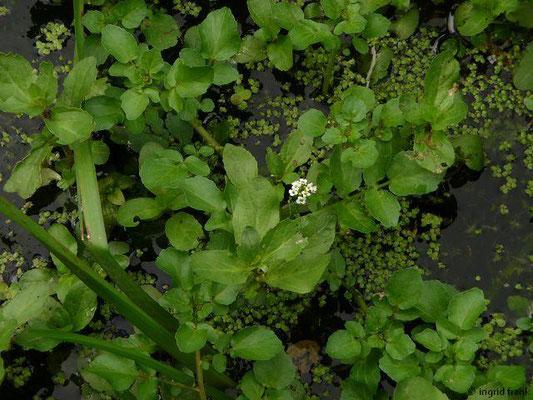 Nasturtium spec. / Brunnenkresse-Arten