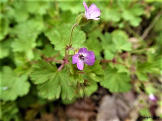 Geranium rotundifolium - Rundblättriger Storchschnabel