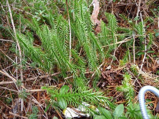 Lycopodium annotinum / Sprossender Bärlapp