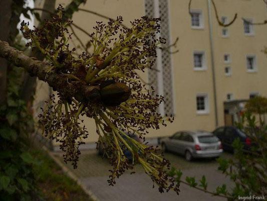 30.04.2013-Fraxinus excelsior - Gewöhnliche Esche