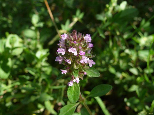 Thymus pulegioides / Feld-Thymian, Quendel     (VI-)VII-IX