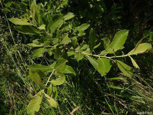 Salix cinerea / Grau-Weide, Asch-Weide    III-IV