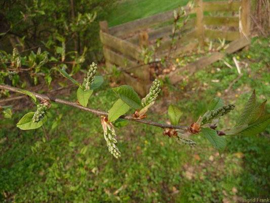 31.03.2012-Prunus padus - Gewöhnliche Traubenkirsche