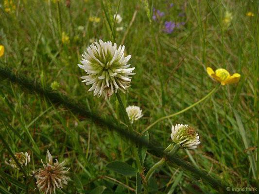 Trifolium montnaum / Berg-Klee