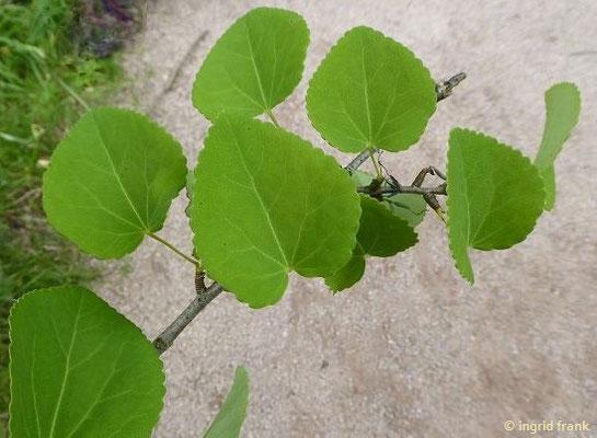 Im Greizer Schlosspark: Cercidiphyllum japonicum - Kuchenbaum