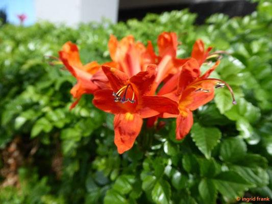 Tecomaria capensis - Kap-Bignonie, Kap-Geißblatt (Hecke am Hotel)