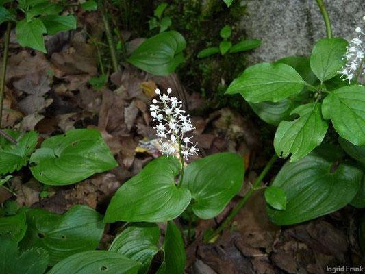Maianthemum bifolia - Zweiblättrige Schattenblume
