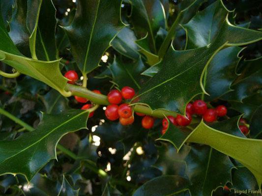 GIFTIG:  Stechpalme / Ilex aquifolium   (02.10.2011)