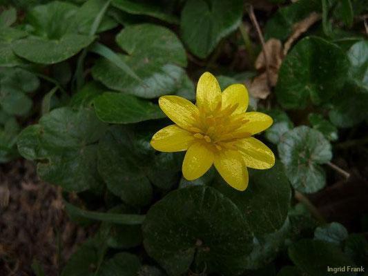 26.03.2010-Ranunculus ficaria - Scharbockskraut