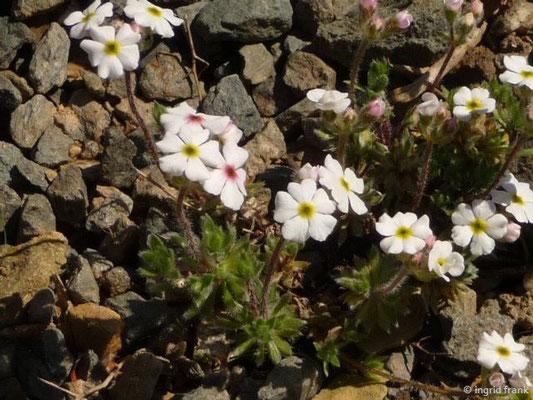 Androsace villosa / Zottiger Mannsschild (Botanischer Garten Adorf im Vogtland)