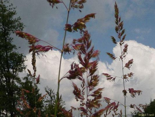Phalaris arundinacea / Rohr-Glanzgras