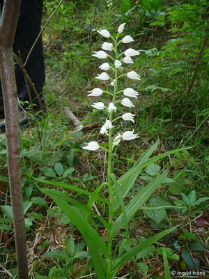 Cephanlanthera longifolia / Schwertblättriges Waldvögelein