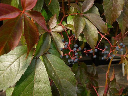 Parthenocissus quinquefolia / Selbstkletternde Jungfernrebe (Neophyt)